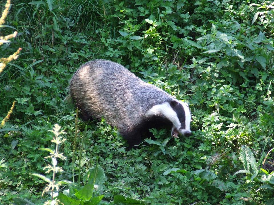 badger-201581_960_720