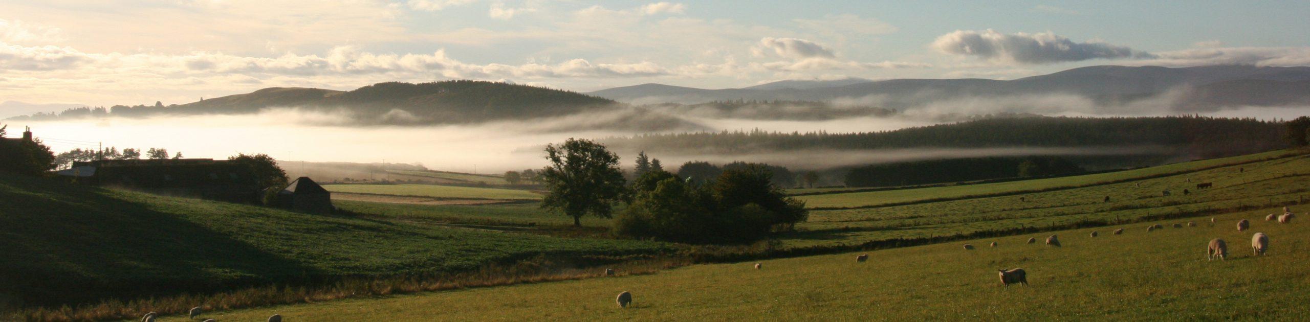 banner mist sheep